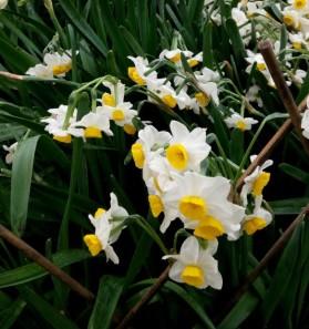Narcisos (Narcissus tazetta)