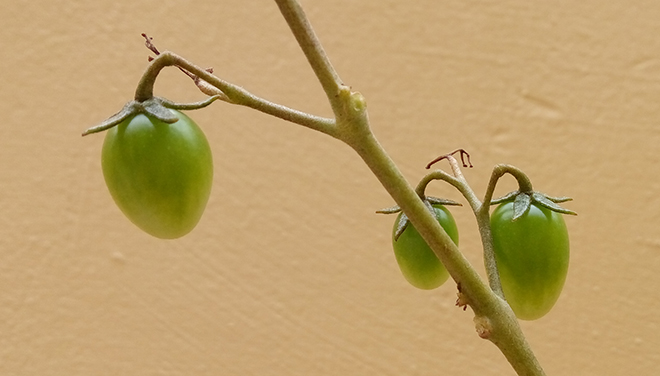 Já tem três tomates cereja!