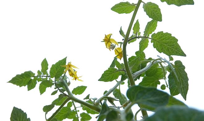 Pé de tomate com flores